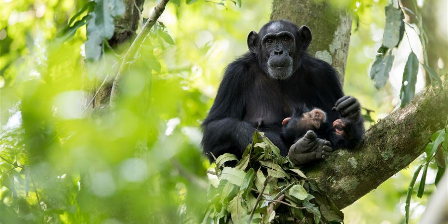 protection grands singes